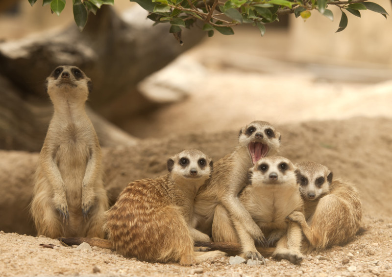 Picture of meerkats