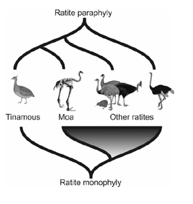 Figure 4-Comparison of monophyletic and paraphyletic models of paleognath phylogeny. The bottom is an illustration of the traditional phylogeny, with ratites as a single clade and tinamous an outgroup. The top shows a paraphyletic arrangement more reflective of the current model. From Baker et al 2014.