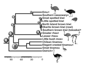 Figure 3: Phylogeny of selected paleognaths constructed from 27 nuclear genes and 21 retroelements  (13), with additional retroelement insertions shared by clades mapped. From Baker et al 2014.