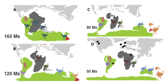 Figure 2- Simple vicariance model of paleognath biogeography. a). 160 mya, Gondwana is just starting to break up. Volant proto-tinamou (pink) and flightless proto-ratite (teal) have already diverged, and are found throughout Gondwana. b). 120 mya, Africa and Madagascar have split off, isolating the ancestors of the ostrich (maroon) and elephant bird (green), respectively. South America and Australia have begun breaking apart, beginning isolation of rheas (purple) and casuarids (blue). c). 80 mya, South America is mostly isolated, along with the rhea (purple) and tinamou (pink). New Zealand has become isolated, and the kiwi and moa (orange) have diverged in isolation. d). 50 mya, all landmasses of Gondwana have separated into those known today, carrying their respective ratites. In Australia, cassowaries and emus have begun to diverge (blue).